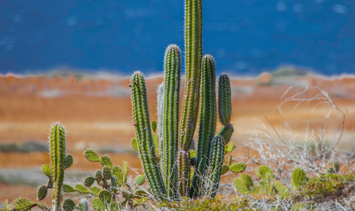 Cactus on Aruba beach, Arikok national park.