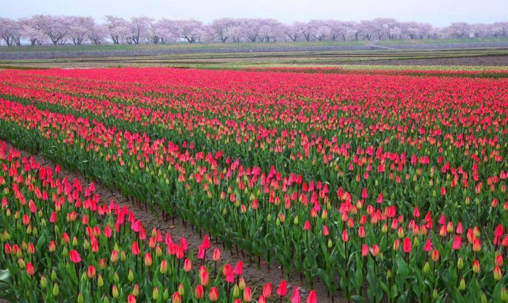 tulips toyama park