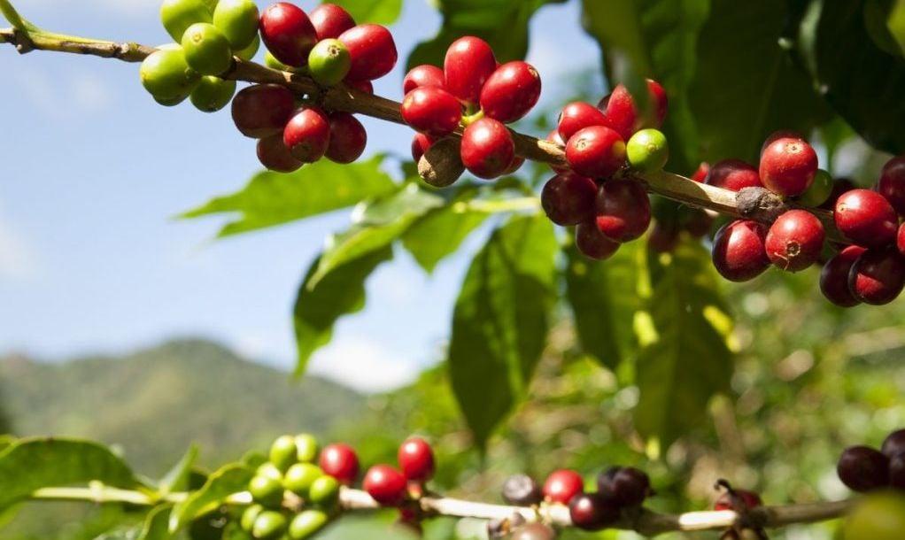 coffee beans panama