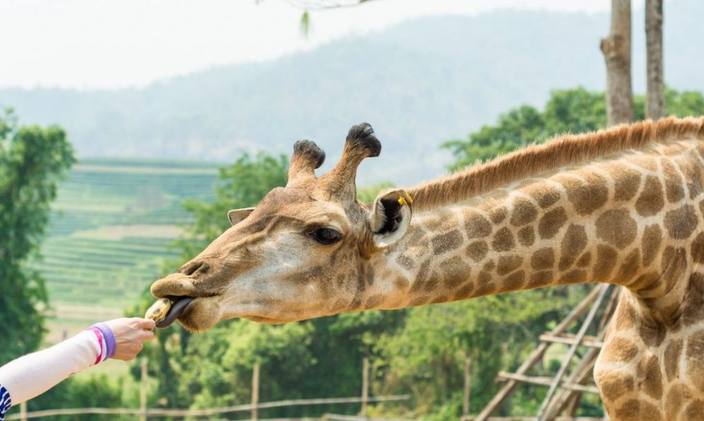 chiang mai feeding giraffe