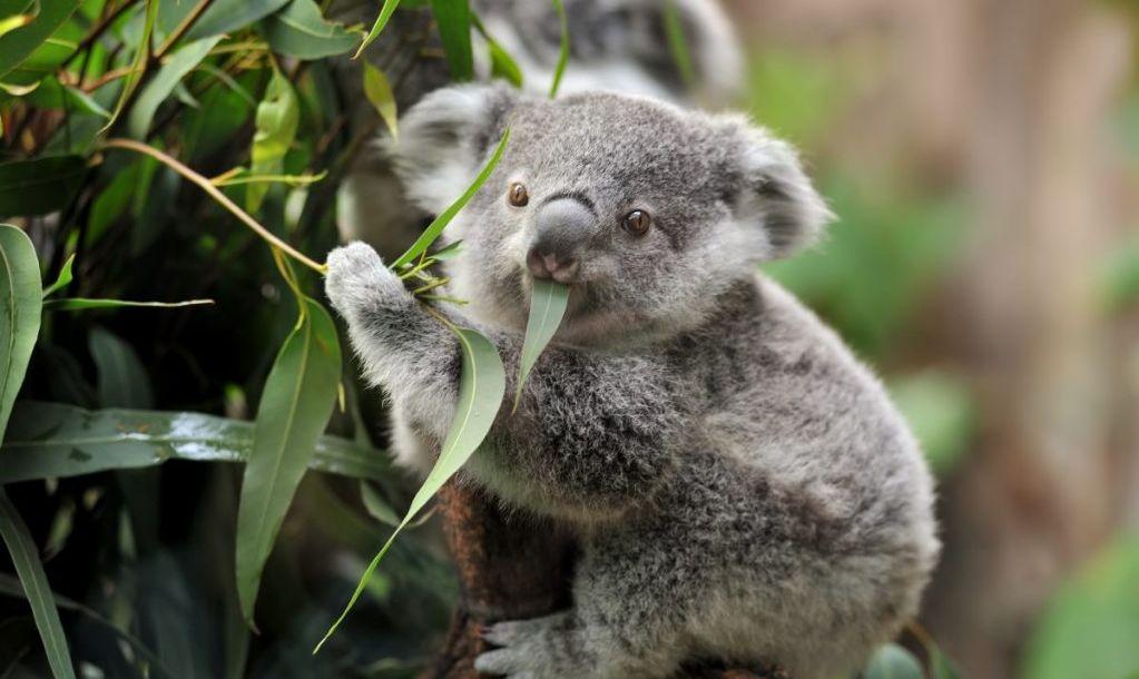 koalas balboa park exotic