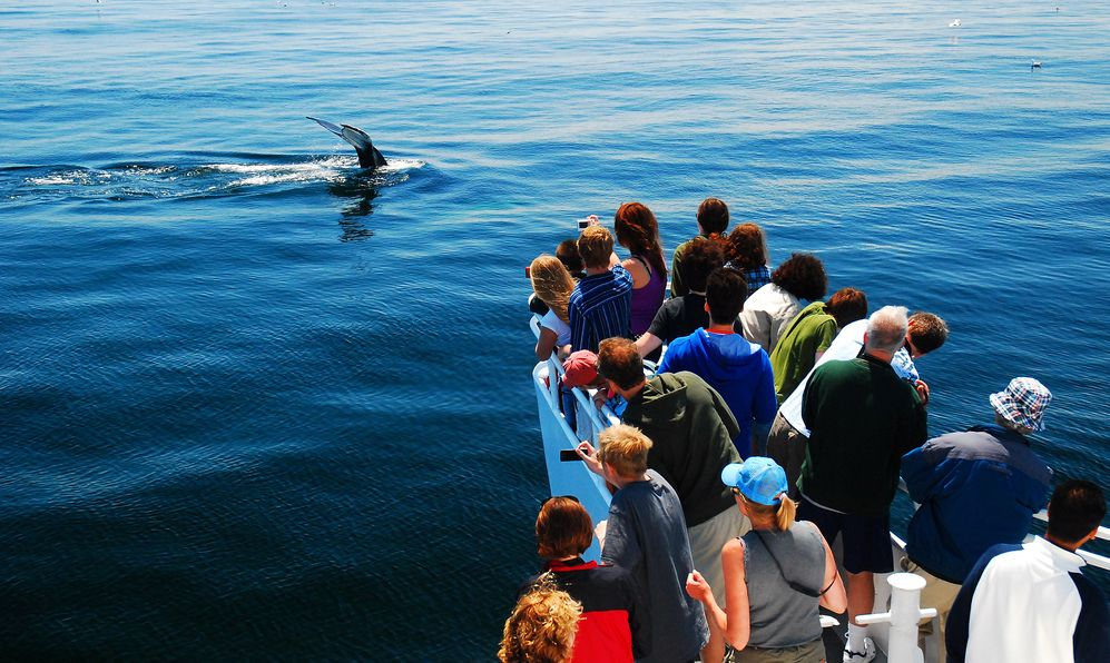 A group a whale watchers catches sight of a humpback whale descending into the depths off the coast of Cape Cod, Massachusetts