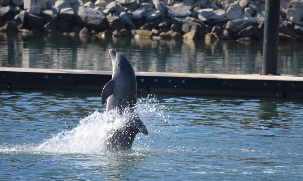 Dolphin showing of its moves in Cabo San Lucas, Mexico