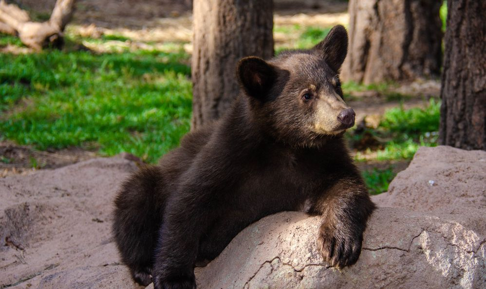 black bear at Bearizona