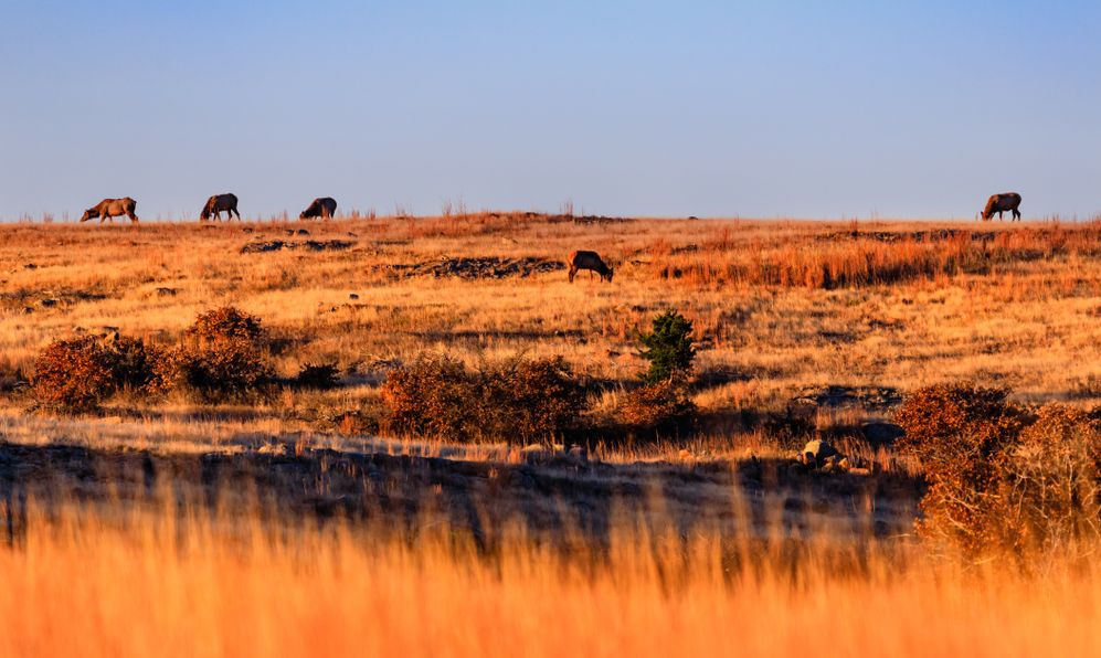 Wild elk gathering to graze in the early morning at Wichita Mountains National Wildlife Refuge