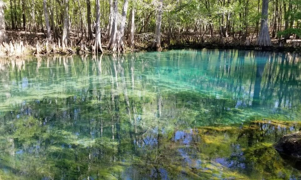 Manatee Springs State Park is a natural hot spring. During the winter months Manatee migrate close the the hot springs to keep in warm bodies of water.