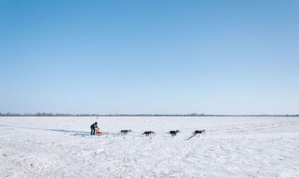 Dog sledding in field