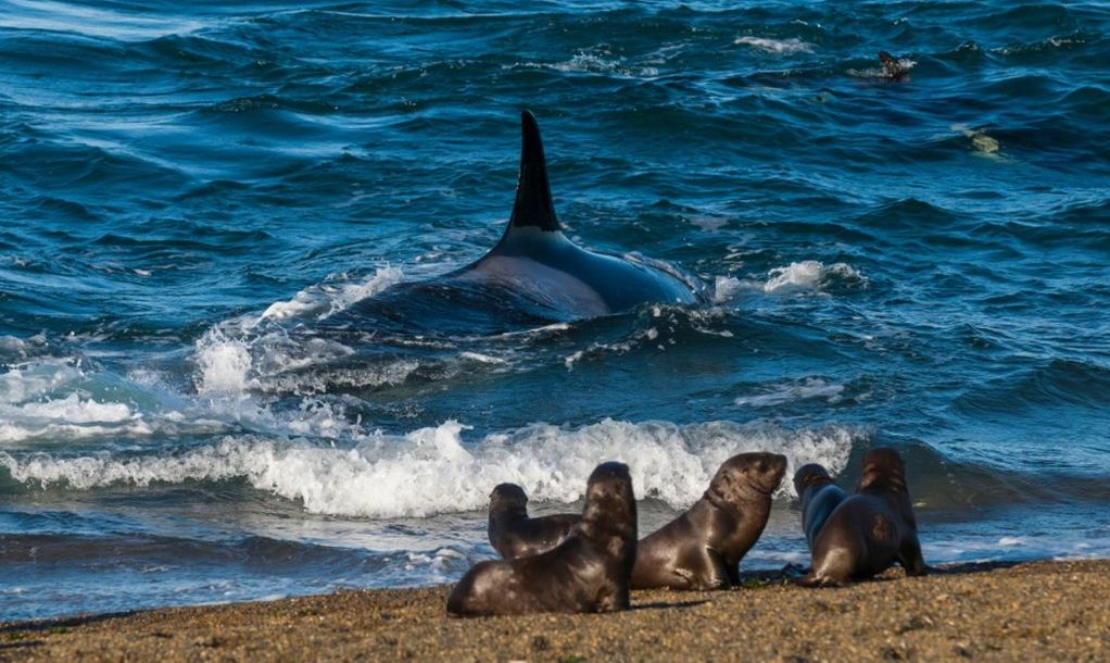 Orca hunting, Patagonia Argentin