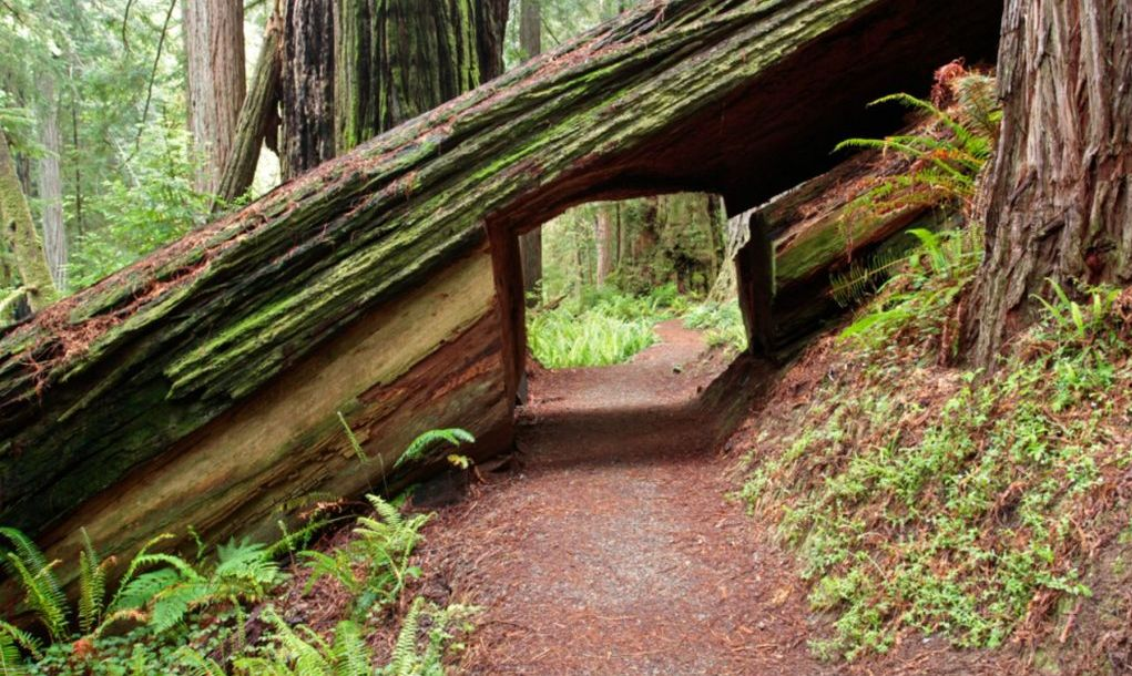 Coastal redwood hiking tunnel, Prairie Creek Trail, Prairie Creek Redwoods State Park, California,