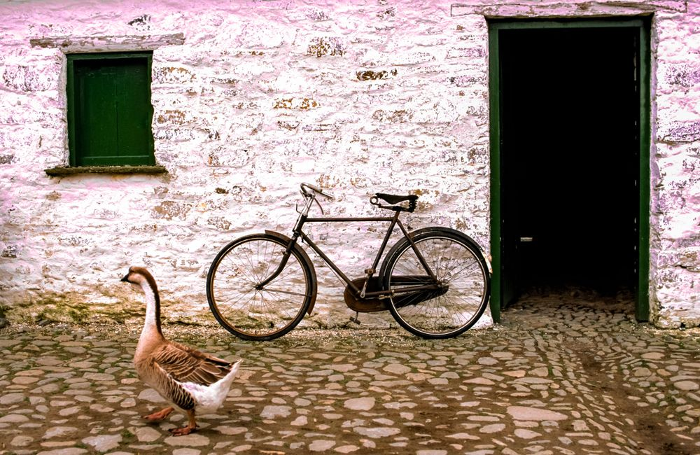 A goose, walks by a doorway of a stone farm outbuilding near Blarney, Ireland. An old style bicycle leaning on the building wall
