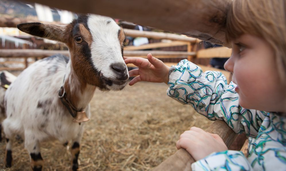 A young girl feeding goat