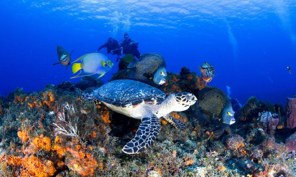 Turtle with Angelfishes, Cozumel