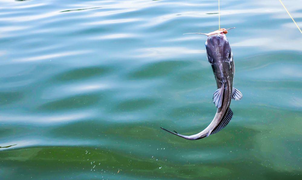 Catfish caught on the fishing line.