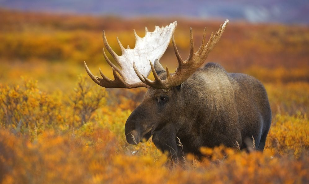 A bull moose wanders across the fall colored tundra