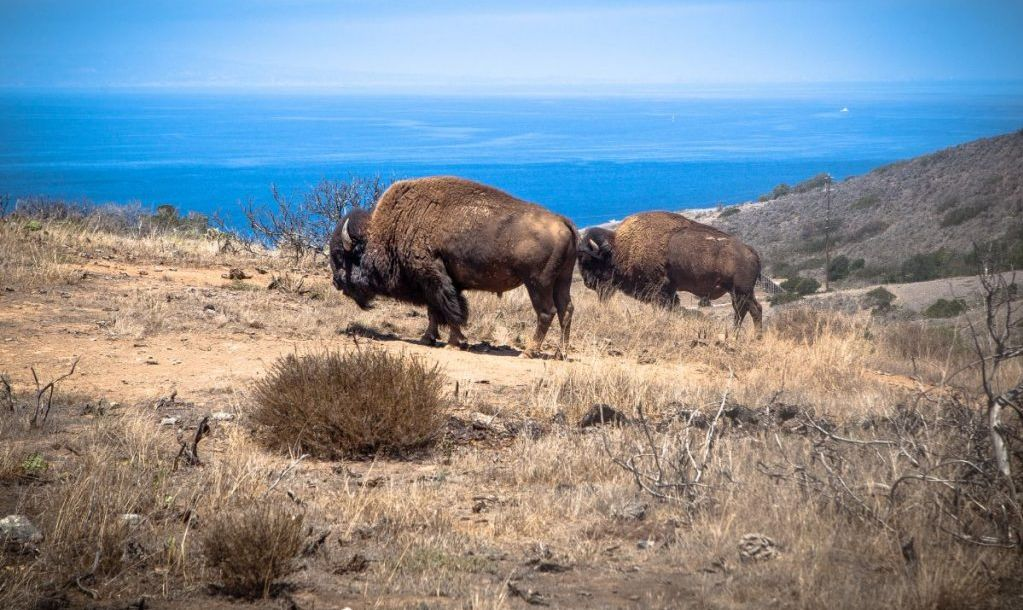 Wild bison on Catalina, a species introduced to the island in the 1920's, believed to have been done for a movie shoot, which never actually used any shots of bison on the island