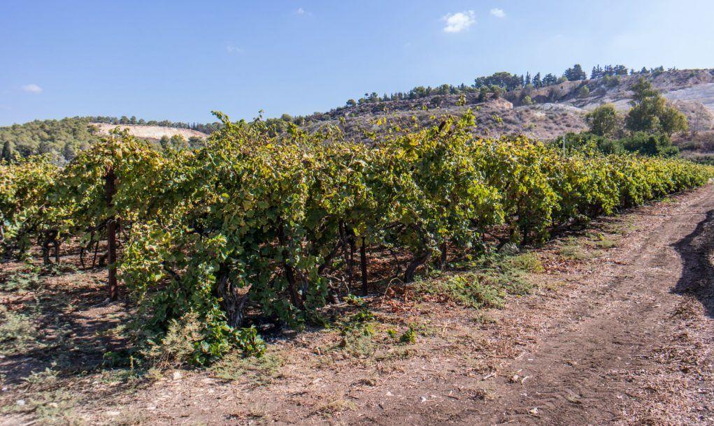 Vineyard in Lake Ohrid, Albania