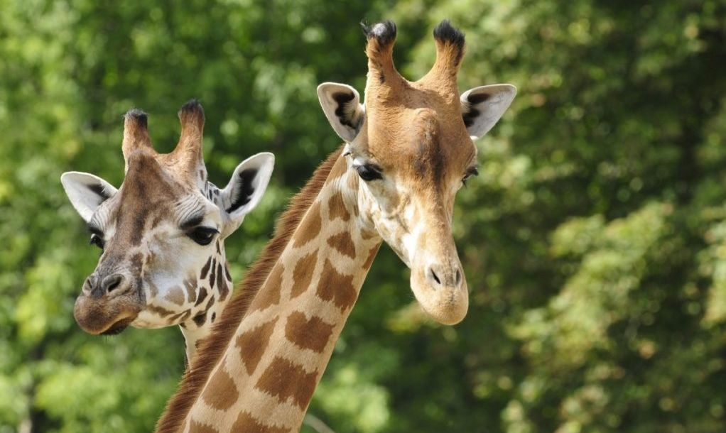 two nosy giraffes