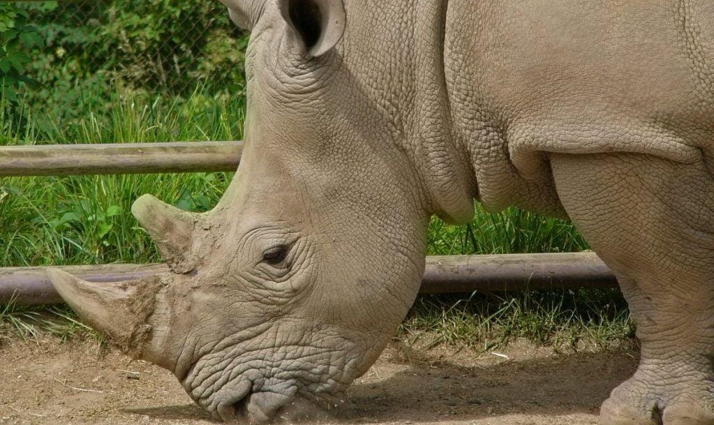 Indianapolis Zoo Rhino