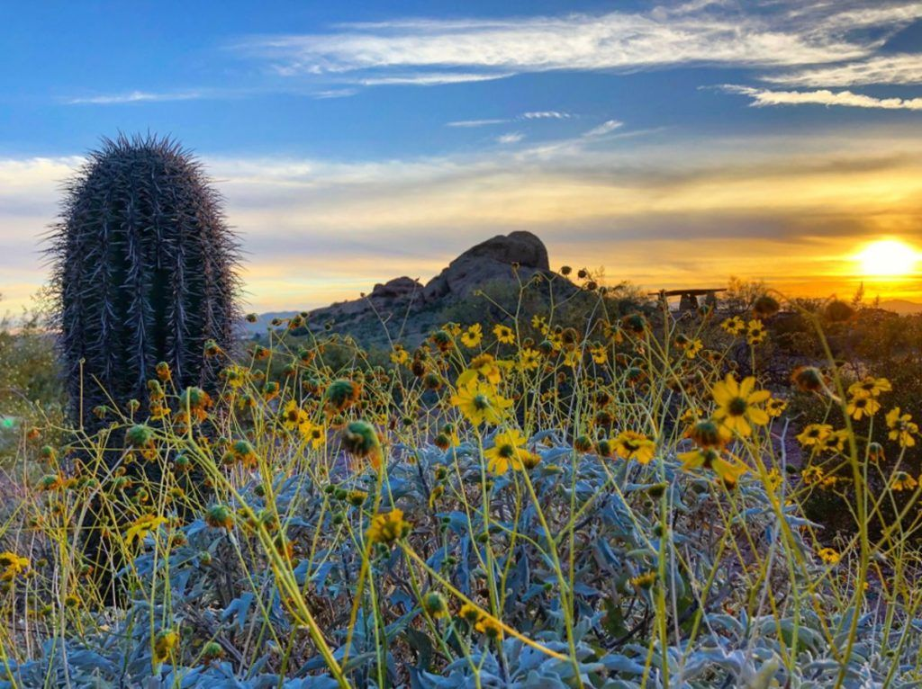 Brittlebush by the Buttes, taken at Papago Park