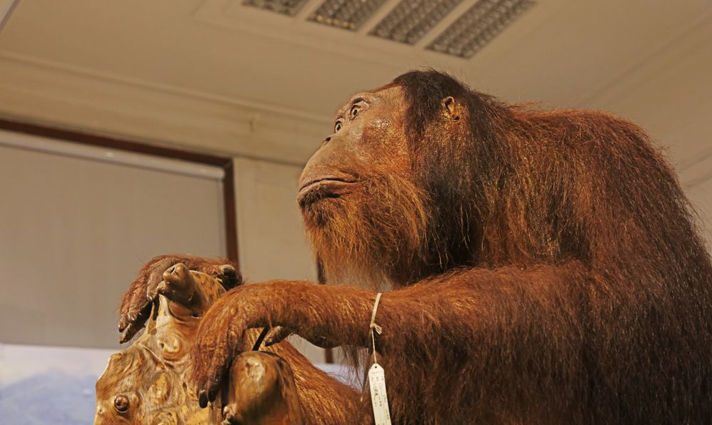 Specimens of orangutans are in the Museum