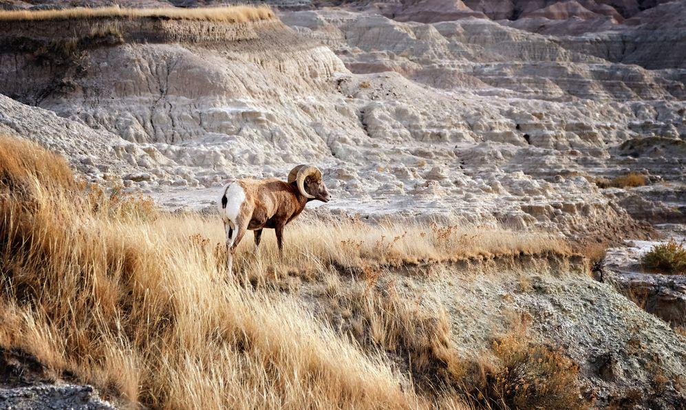 Bighorn Sheep with large curving horns in Badlands National Park, South Dakota,