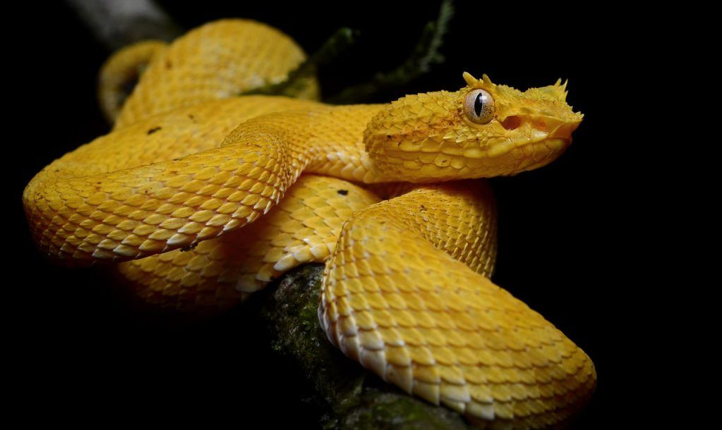 eyelash pit viper''' (''Bothriechis schlegelii'') at La Selva Biological Station, Sarapiqui, Costa Rica.