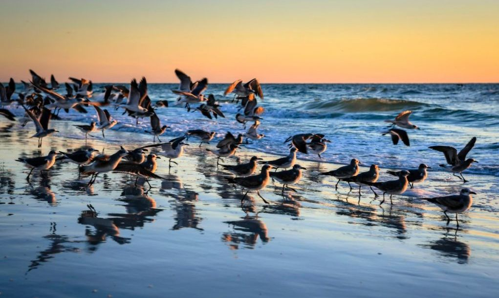 Seagulls flock to the shoreline at Siesta Key beach Sarasota Florida at sunset