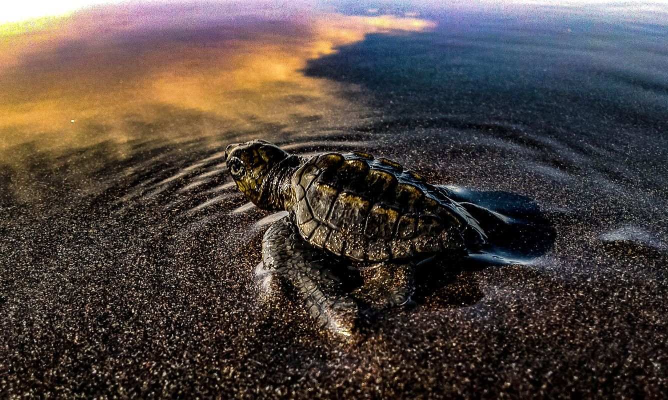 A sea turtle heads out for its first swim on a secluded beach in El Salvador, Central America.