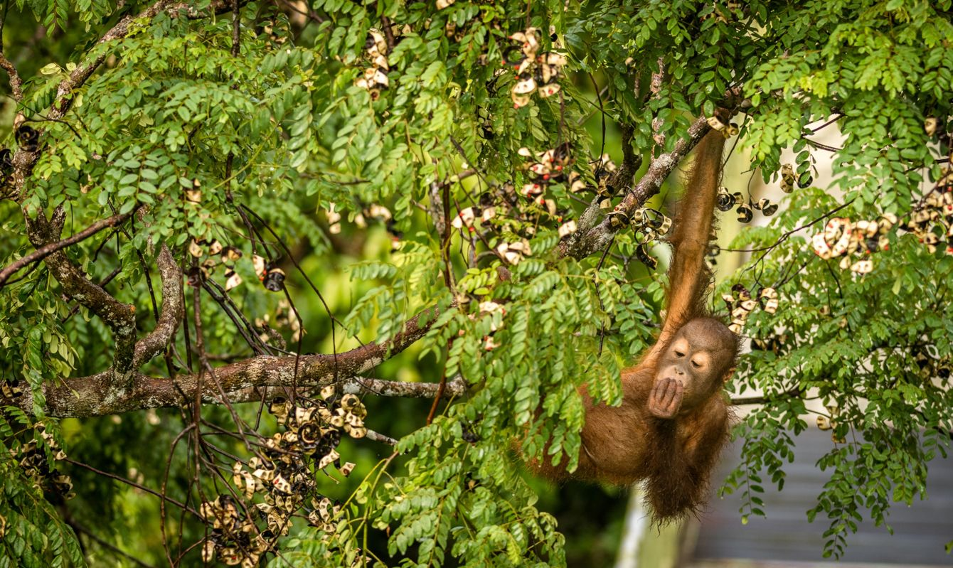 This wild young male orangutan is climbing the rainforest trees to find red berries to eat.