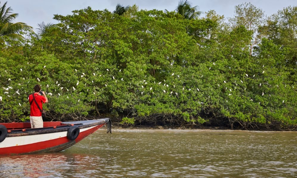 White herons seek their hiding place in the mangrove for the night at the river Commewijne near Paramaribo