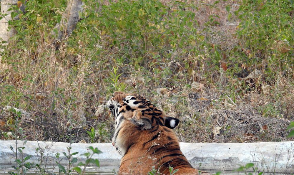 Bengal tiger in Sajjangarh Biological Park, Udaipur, Rajasthan, India