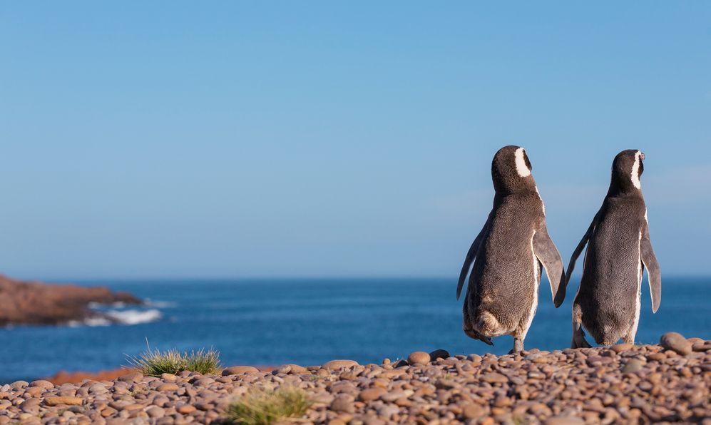Magellanic penguin, Atlantic Coast, Patagonia