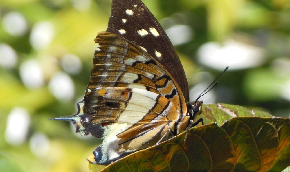 Butterfly in Papua New Guinea