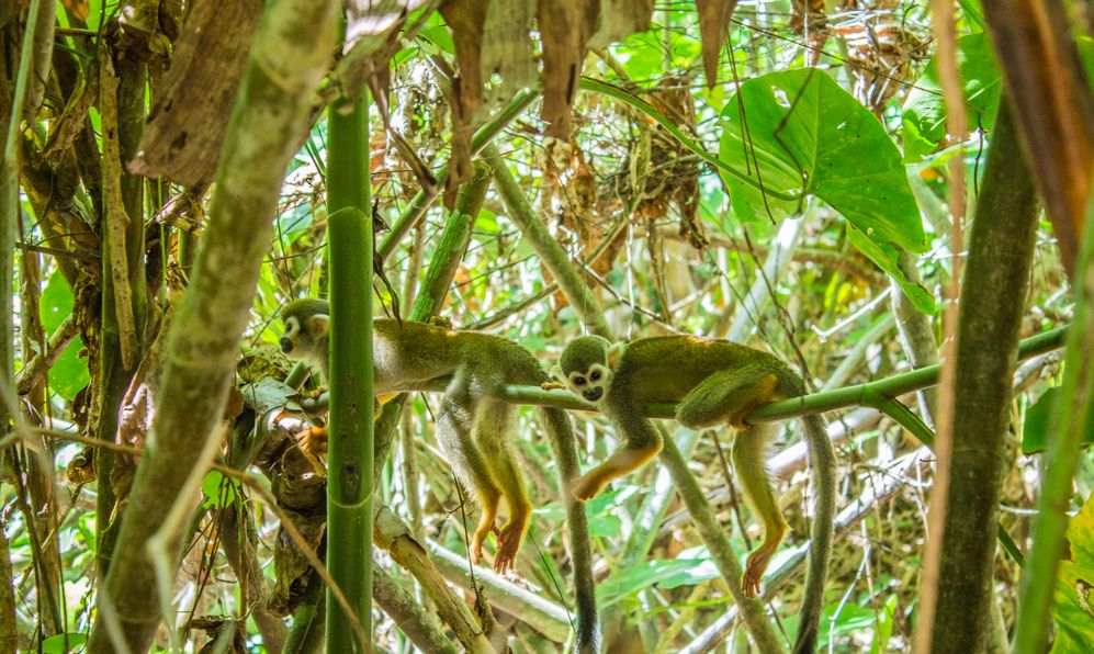 A cute looking wild Squirrel Monkey posing in some jungle trees in Nature Park and former plantation, Peperpot, Commewijne, Suriname