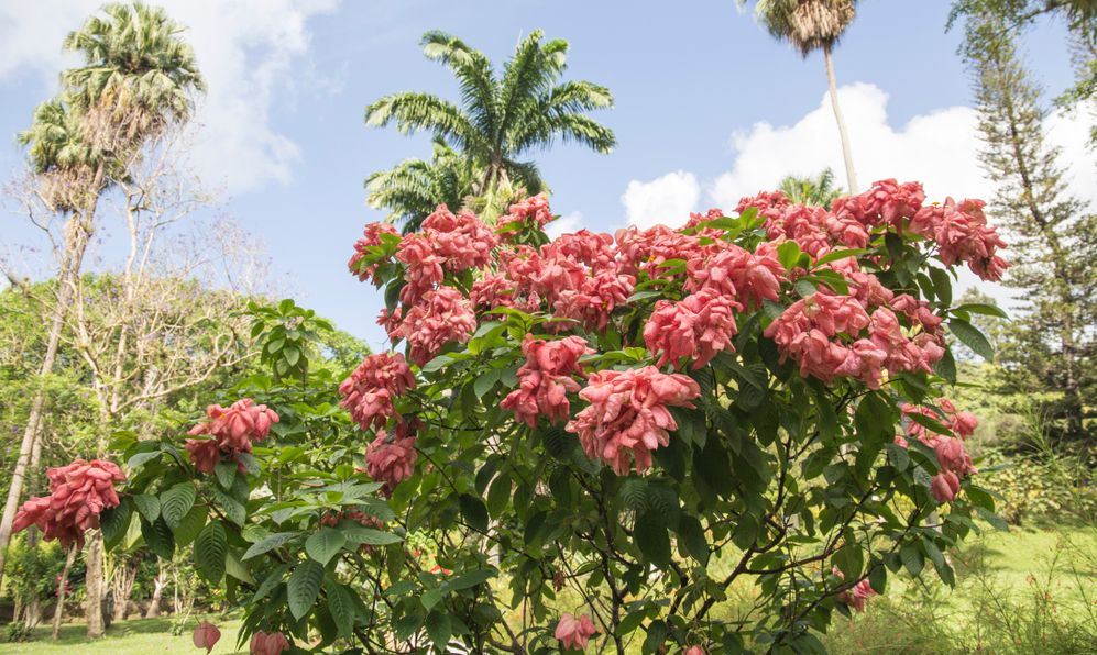 Kingstown The St Vincent and the Grenadines: The Botanical Gardens is located in Kingstown city
