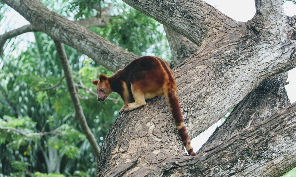 A tree kangaroo at the Adventure Park outside Port Moresby, Papua New Guinea