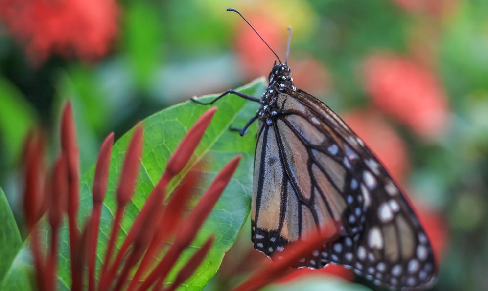 Monarch butterfly in Suriname