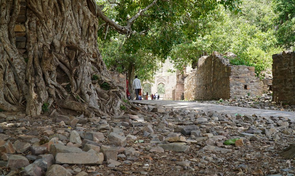 Scenic view of Indian banyan tree. Tree of Life, Amazing Banyan Tree
