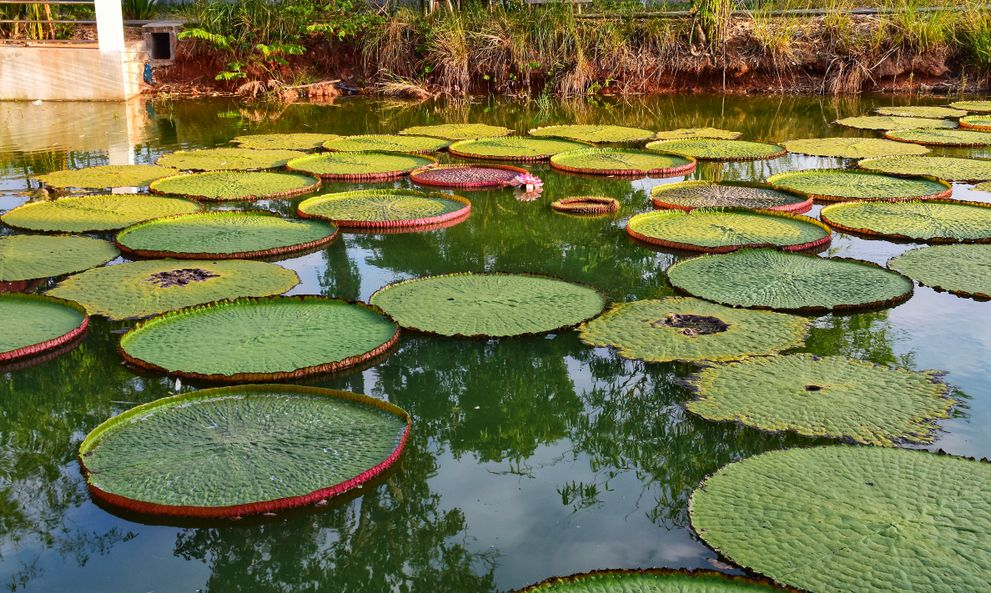 The Victoria waterlily. It is the National flower of Guyana