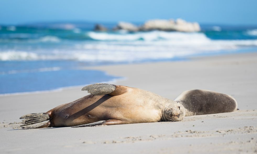 Sea Lions at Seal Bay, Kangaroo Island