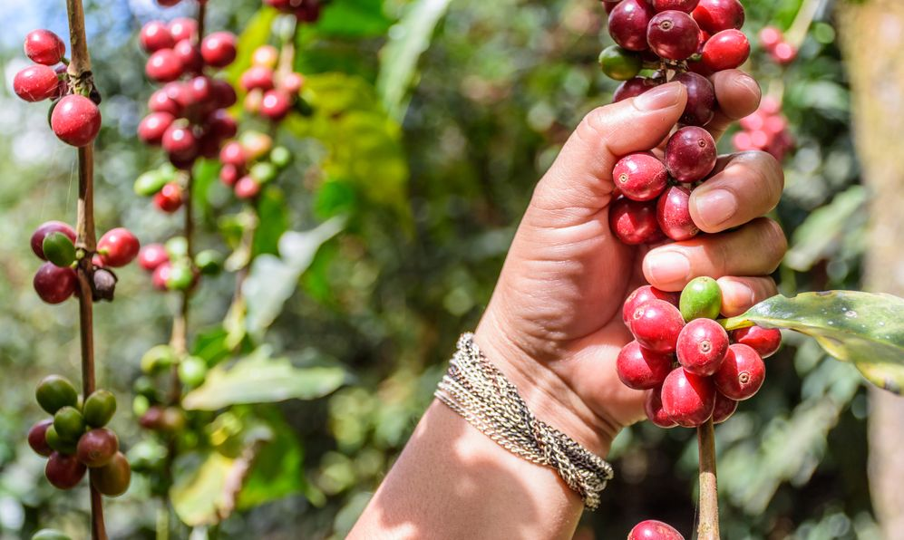 Hand holds branch of ripening coffee beans,, Antigua, Guatemala