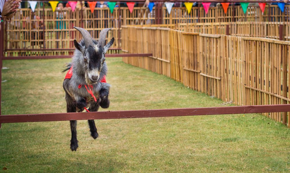 The willful goat is jumping in goat race. It is a domestic animal.
