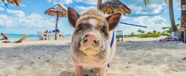 Pig Island: The Bahamas' Best Kept Secret