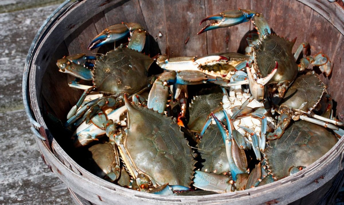 Blue Crabs in Wooden Bushel Bucket