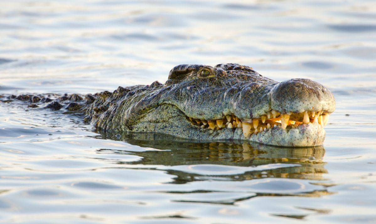 Nile crocodiles roam the Comoe River at Comoe National Park.