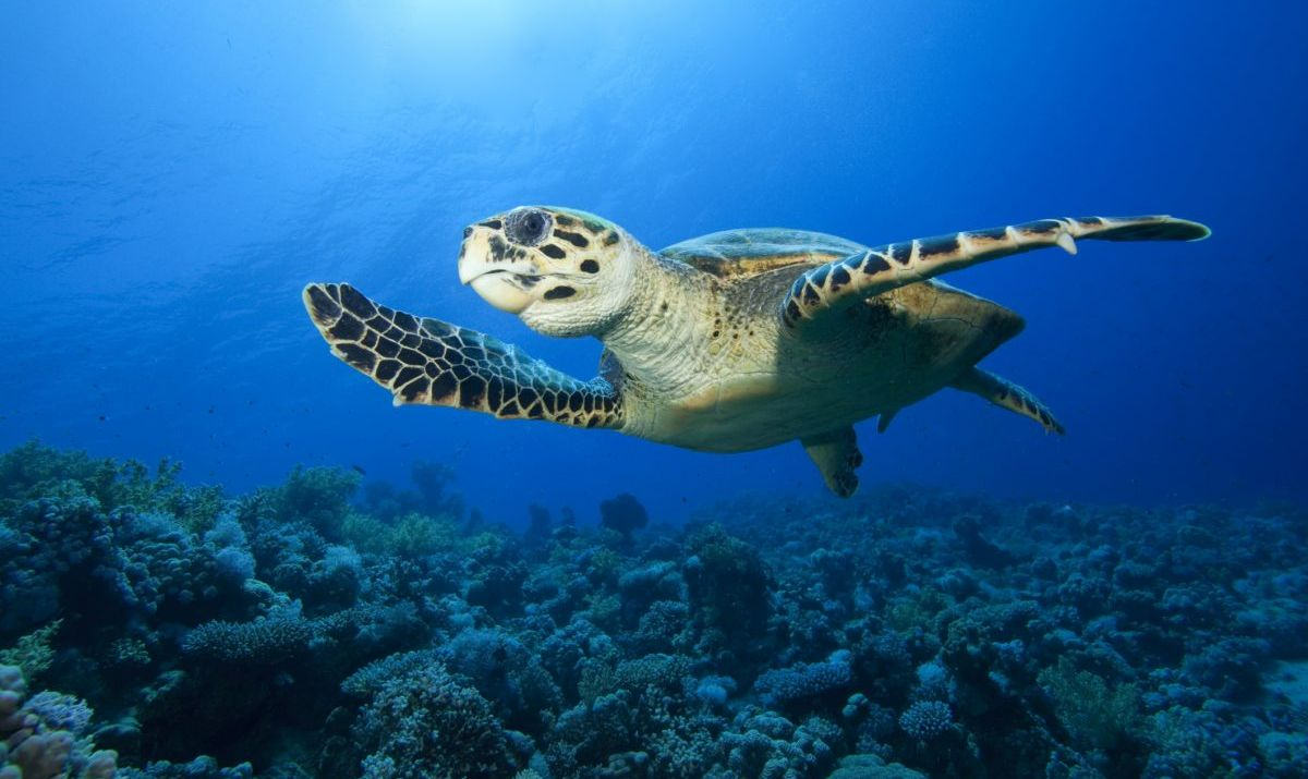 Hawksbill Turtle (Eretmochelys imbricata) on a coral reef