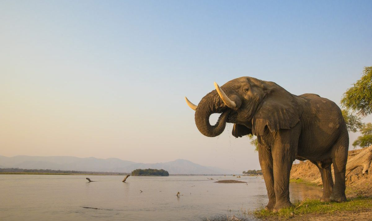 African Elephant bull drinking on the Zambezi river
