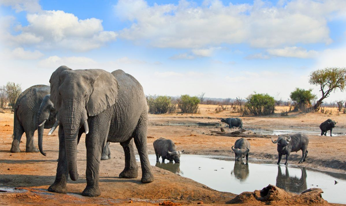 Elephants and Cape Buffalo next to a waterhole in Hwange National Park with a blue cloudy sky