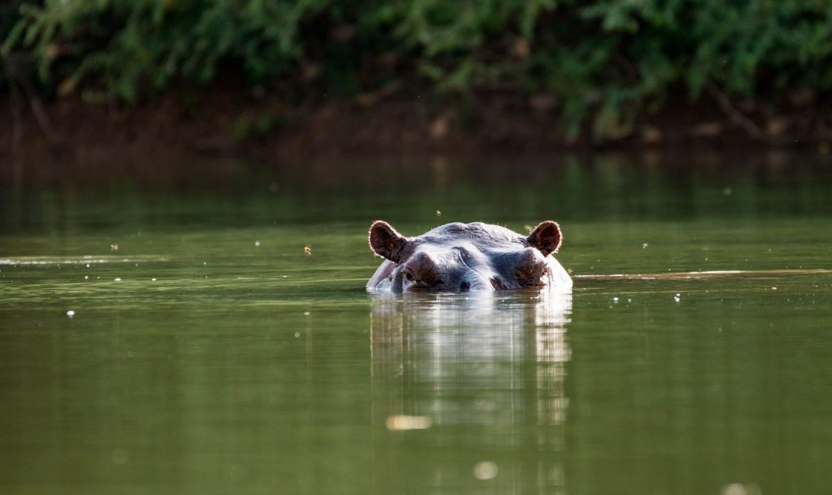 Curious hippo in Niokolo-Koba National Park, Senegal