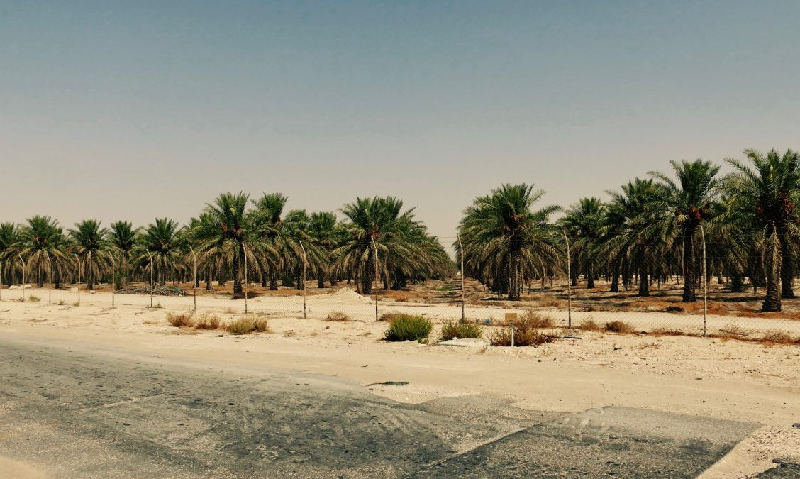 Date palm plantation, Al-Ahsa
